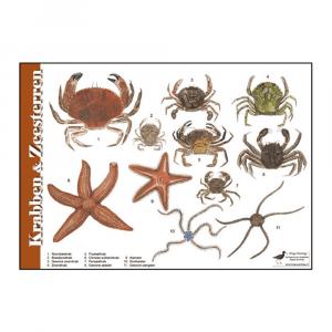 Herkenningskaart Krabben & Zeesterren